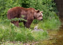 Brown Bear Romania