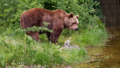 Brown Bear – Mountain