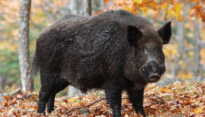 Wild boar – Mountain