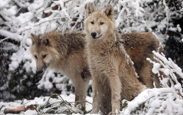 Wolf Ro