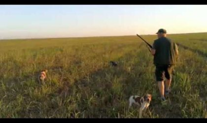 Wild Hunting Quails with Dogs 4