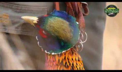 Hunting Pheasants Romania
